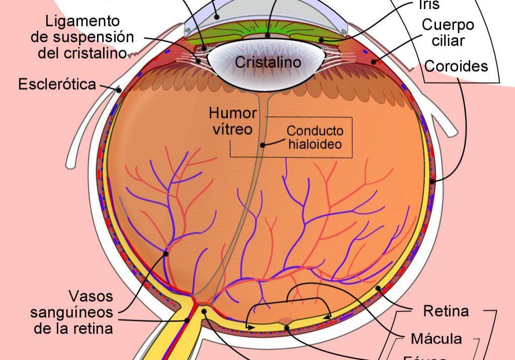 Schematic_diagram_of_the_human_eye-es